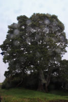 The effects of raindrops on my lens:  An old tree in Hakalau appears to protect Spirits.