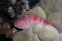 Arceye Hawkfish (Paracirrhites arcatus) in crystal cove, South Kohala