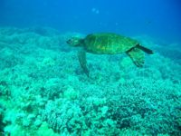 Hawaiian Green Sea Turtle (Chelonia mydas) at Puako, South Kohala by Andrew Cooper