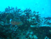 I learned more than just how to take better underwater photos! Like this is a Ringtail Wrasse?!