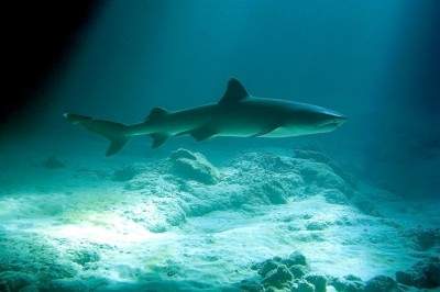 Whitetip Reef Shark (Triaenodon obesus) in a cave at Holoholokai!  Photo ©2010 Deborah Cooper behind the lens.