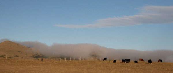 Cattle, Fog and a Pu'u as the last of the large animal life seen on our Thanksgiving Drive to the VIS.
