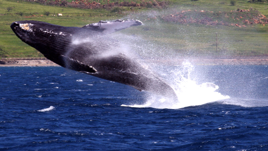 Humpback Whale in full Breach off of Maui, Hawaii