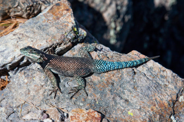 Yarrow's Spiny Lizard