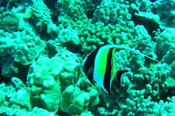 Moorish Idol (Zanclus cornutus) at Old Kona Airport Dive Site.