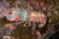 Regal Slipper Lobster (Arctides regalis) in Crystal Cove, South Kohala by Andrew Cooper