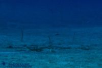 Garden Eels (Gorgasia hawaiiensis) at 80' depth at Puako. By ©2010 Andrew Cooper.